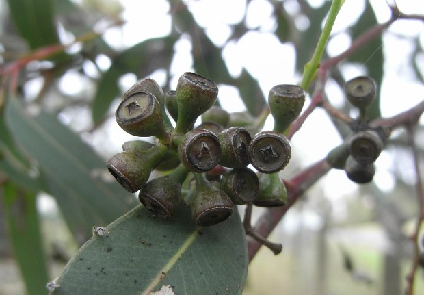 The Benefits Of Eucalyptus Oil